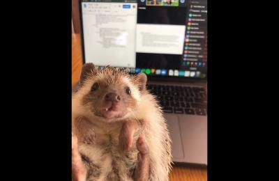 Emily Claffey's pet hedgehog, Stella, held in front of a laptop where Emily in working