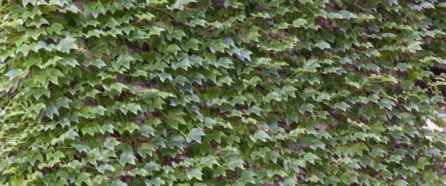 A brick wall on campus covered in ivy
