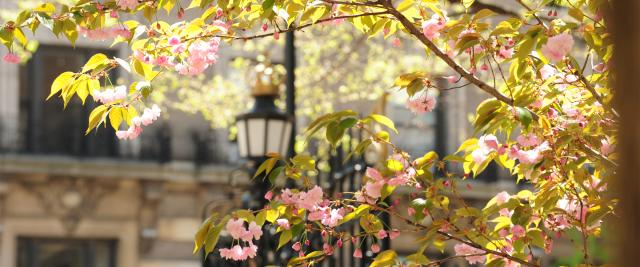Cherry blossoms in front of a wrought iron gate featuring the Columbia crown
