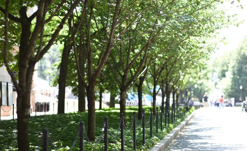 A row of linden trees on College Walk